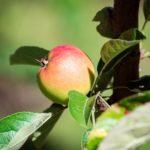 органическое яблоко