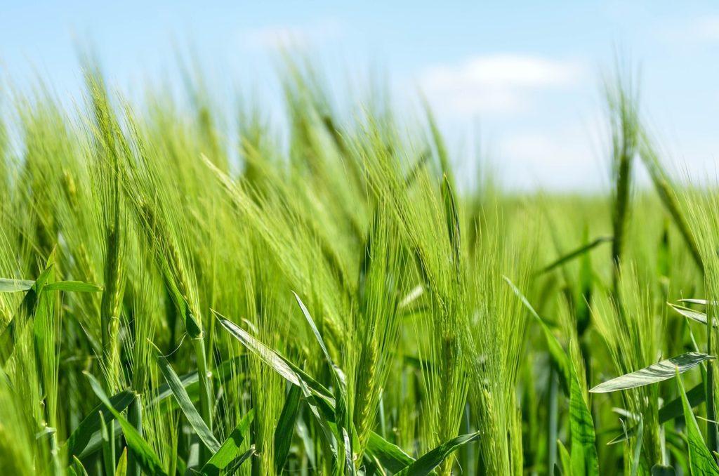 Выращивания зерновых при органическом земледелии