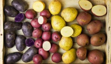 Стартовала процедура отбора комплексных научно-технических проектов для участия в подпрограмме «Развитие селекции и семеноводства картофеля в Российской Федерации»